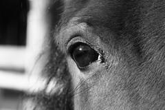 Horse's eye (m.rsjoberg) Tags: new horse white black eye monochrome forest canon pony dalarna svart hst ponny ga rttvik vit 70d vikarbyn