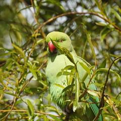 """Psittacula krameri"" - halsbandparkiet (bugman11) Tags: green bird nature birds animal animals fauna spring nikon nederland thenetherlands 1001nights halsbandparkiet psittaculakrameri 1001nightsmagiccity"