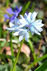 Pale blue bells (hcorper) Tags: flowers bells bokeh paleblue 100flowers