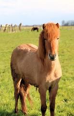 IMG_9932 (fraroan) Tags: paarden ponys tolt rijden paardrijden ijslander ijslandse ijslanders fraroan telgang westbemster