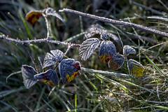 Frost (jackharrybill) Tags: frost frosty haworth
