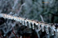 DSC_0923_088 (Jeffery A. Smith) Tags: ice forest fence nikon icestorm northdakota barbwire freezingrain fenceline bottineau d3300