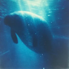 Day 7 - Gentle Giant (dreamscapesxx) Tags: manatee instant surfacing gentlegiant attheaquarium polaroidweek comingupforair sarasotafl motemarineaquarium risingup theimpossibleproject snapitseeit instantlab impossible600colorfilm roidweek2016