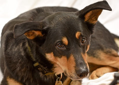 Milo the Australian Kelpie (R.A. Killmer) Tags: dog black fur eyes friend soft australian tan fast ears canine paws kelpie