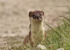 No3   Stoat . A good long look at me (GrahamParryWildlife) Tags: new uk sunlight field animal sport photo kent flickr outdoor small hunting sigma running shy run add tiny 7d mk2 dungeness predator viewing depth hunt carnivore stoat mamal rspb mustela 150600 grahamparrywildlife