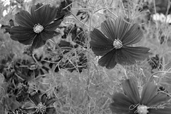 (Ignaciocenteno{photo}) Tags: espaa flores canon spring spain cosmos aranjuez comunidaddemadrid fotgrafosenmadrid ignaciocenteno fotgrafosenaranjuez canon24mmstm
