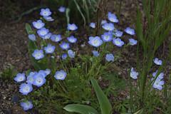 _DSC2078 (Osamu1965) Tags: flower japan zeiss garden spring sony contax jp   okayama     a7m2  carlzeissvariosonnart2870mmf3545mm