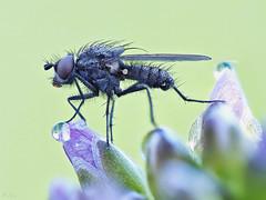 Runway (pen3.de) Tags: wildlife makro zuiko omd fliege morgens morgentau naturlicht 60mmmakro focusbkt em10ii