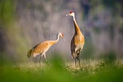 Pair of Cranes Through the Grass (jeff_a_goldberg) Tags: bird nature us illinois spring unitedstates crane plano sandhillcrane gruscanadensis