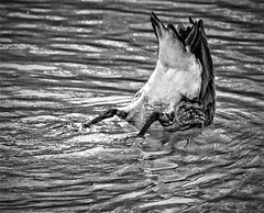 Bottom's up (FotoGrazio) Tags: blackandwhite bird art texture nature water animal closeup composition contrast photography duck photoshoot o eating wildlife dive feathers ripples moment photographicart capture waterfowl digitalphotography bottomsup justo sandiegophotographer artofphotography flickrelite californiaphotographer internationalphotographers worldphotographer photographersinsandiego fotograzio photographersincalifornia waynegrazio waynesgrazio