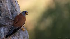 High up there... (Glenn van Windt) Tags: bird nature natuur aves birdofprey vogel roofvogel falconaumanni lesserkestrel canonef300mmf28lisusm kleinetorenvalk