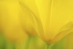 MOONWALKER (ajpscs) Tags: flower macro yellow japan japanese tokyo spring petal  nippon   tamron moonwalker  haru  springflower   seasonchange  showakinenkoen ajpscs  tamron180mm  springtulip  helloapril  nikond750 ifeelsoclose moonwalkertulip