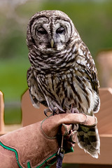 Barred Owl Oliver - Male RC resident since 2003 Permanent wing injury (Buckeye Photography) Tags: ohio us unitedstates owl carlisle reservation barred lagrange lorain metroparks