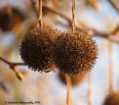 Edelkastanie (Castanea sativa) Sweet chestnut (photomotivjger) Tags: plant tree nature fruit germany bayern deutschland bavaria photo natur pflanze bamberg hunter motive frucht baum photomotivjger