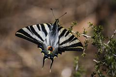 Podalirio (annannavarro) Tags: naturaleza rayas nature animals fauna butterfly print spring spain colorful mariposa estampado podalirio