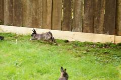 Toki playing with a squirrel (Tjflex2) Tags: boy pets canada cute rabbit bunny bunnies nature girl vancouver mammal furry pretty bc friendship fuzzy conejo small adorable cuddly coelho playful lapin usagi krolik kanin lagomorph toki lepus fenek iepure muyal kelinci ilconiglio coinin sungura leporidea