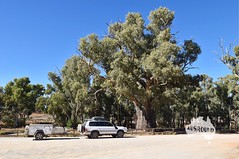 Along our drive to Woomera today we spotted a 500 year old Gum Tree!  beautiful and impressive to see in person. #LiveStrong #Impressive #BigThings #GumTree #Australia #SA #SouthAustralia (ausround) Tags: australia sa gumtree southaustralia impressive livestrong bigthings