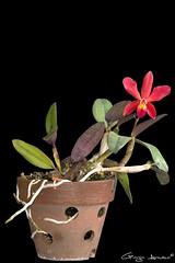 Cattleya George Hardy (Giorgio Armano) Tags: orchid flower macro nikon focus orchids cattleya sophronitis fiori coccinea orchidee fiore orchidea helicon aclandiae