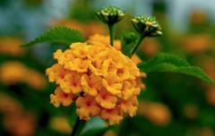 Yellow  bunch (Rajavelu1) Tags: flowers plant art yellow creative artland macrophotograph canon60d