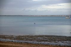 Grey Heron flying at Ryde (tame_alien) Tags: uk sea england bird water animal landscape unitedkingdom flight isleofwight solent ryde greyheron