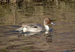 Northern Pintail (Neal D) Tags: bird duck bc surrey crescentbeach northernpintail anasacuta blackiespit