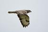 Buzzard (Shane Jones) Tags: bird nikon raptor buzzard birdofprey birdinflight 200400vr d7200