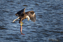 Catch of the Day (rustyparkhurst) Tags: river fishing iowa eagles leclaire lockdam14