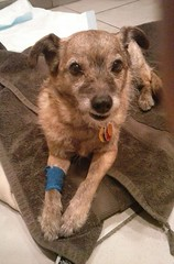 Catheter removed, waking up some more (Billie the Mixed Terrier) Tags: dog mutt vet terrier dentist billie recovering anesthesia