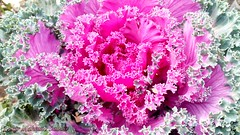 #Fancy #Cabbage #Pink  & #Green