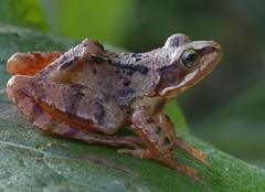 Rana temporaria (Glenn van Windt) Tags: macro nature closeup natuur frog amphibians ranatemporaria amphibia bruinekikker brownfrog amfibieen tamronspaf180mmf35ldifmacro