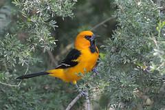 Altamira Oriole (Greg Lavaty Photography) Tags: orange bird nature december texas wildlife valley riogrande altamiraoriole icterusgularis