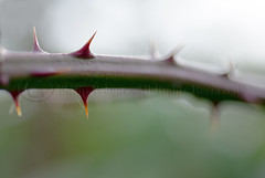 Sharp Point (Philip R Jones) Tags: macro dof prick thorn brambles