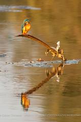 Iridescent Dart (Two Dragons - @robthomasphoto) Tags: india nature birds animals rural river asia wildlife environmental environment maharashtra avian raigad magicbusindia magicbuscentre aasrewadi robcolinthomas robthomasphotography robthomas