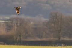 Short-eared Owl (warren hanratty) Tags: nature wildlife gloucestershire cotswoldwaterpark shortearedowl asioflammeus blakehillnaturereserve warrenhanrattyphotography