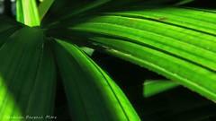 (ojoadicto) Tags: naturaleza plant abstract green planta nature abstracto