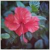 hibiscus (meeeeeeeeeel) Tags: red flores flower detail green nature natureza flor hibiscus squareformat hibisco redflower florvermelha iphoneography hipstamatic robustafilm chivaslens