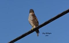 Hawk_4240 (Porch Dog) Tags: winter bird nature hawk kentucky wildlife january feathers fx 2016 garywhittington nikond750 nikon200500mm