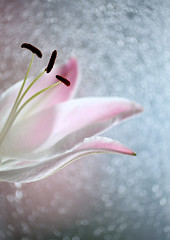 A lily (ElaR.) Tags: pink flowers blue plants nature beauty composition flora nikon lily bokeh fantasy delicate flowerpetals pinkflowers
