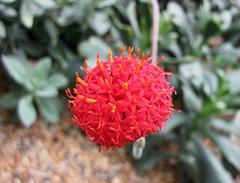 猩紅肉葉菊 Kleinia fulgens  [新加坡濱海灣花園 Gardens by the Bay, Singapore] (阿橋花譜 KHQ Flower Guide) Tags: asteraceae kleinia 菊科