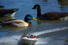 Size Matters (swong95765) Tags: family cute bird water river funny speedboat humor ducks size mallard aquatic