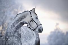 Thea (Hestefotograf.com) Tags: winter horses horse snow love oslo norway caballo bokeh pony camouflage cavalos ponies forever pferde dappled cavalo pferd whitehorse equine equus paard horseandgirl equinephotography equinephotographer hestefotograf