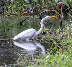 20160201-_74P4247.jpg (Lake Worth) Tags: bird nature birds animal animals canon wings florida wildlife feathers wetlands everglades waterbirds southflorida birdwatcher canonef500mmf4lisiiusm