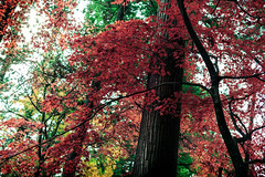 Autumn in Nikk (Tochigi) Kanto, Japan (Norto) Tags: autumn color colour leaves japan forest hojas maple bosque acer otoo nippon nikko tronco acerpalmatum japon nihon arce nikk   irohakaede