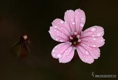 Vaccaria hispanica (Lucas Gutirrez) Tags: flowers granada caryophyllaceae floressilvestres florasilvestre vaccariahispanica granadanatural alhamatemple