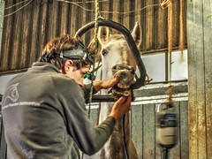 P1290083 (gill4kleuren - 11 ml views) Tags: horses dentist haflinger tandarts 2015 hengst