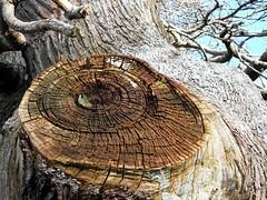 Missing a Limb. (Flyingpast) Tags: wood old tree texture nature woodland outdoors scotland branch fife walk large conservation rings bark stump environment aged rough february limb naturalworld planetearth felled balmerino spanishchestnut wb2000 tl350