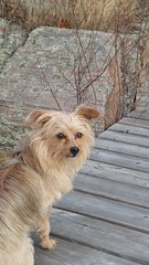 Posing (molajen) Tags: dog ontario georgianbay yorkiepoo snugharbour