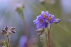 Flowers in the rain - Alaska (JLS Photography - Alaska) Tags: flowers plant flower alaska purple blossom outdoor depthoffield wildflower purpleflower jlsphotographyalaska