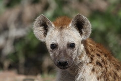Hyena pup (Going Nowhere Slowly) Tags: southafrica wildlife safari pup hyena krugernationalpark satara canon100400mm canon7d