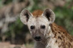 Hyena pup (Going Nowhere Slowly) Tags: southafrica wildlife safari pup hyena krugernationalpark satara canon100400mm canon7d
